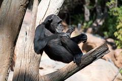 Chimpanzee, Bioparc, Fuengirola, Andalusia, Spain (rmk2112rmk) Tags: chimpanzee bioparc fuengirola andalusia spain pantroglodytes chimp primate ape