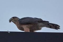 Cooper's Hawk (life as usual) Tags: coopershawk sony70400ssmg2 mudisland memphis