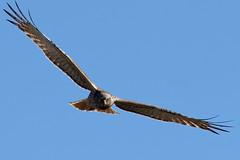 All eyes (audiodam) Tags: swampharrier australianbirds
