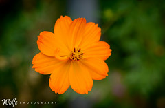 orange shades (Aaron_Smith_Wolfe_Photography) Tags: orange flower bloom fall carsoncity 105mmf28 nevada sierra mountains