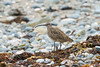 Hudsonian Whimbrel (angus molyneux) Tags: shorebird hudsonianwhimbrel cornwall perranuthnoe hudsonicussubspecies
