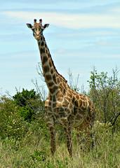 Giraffe, Masai Mara, Kenya, Africa (Amethinah) Tags: 2012 africa kenya masaimara maasaimara wildlife giraffe masaigiraffe