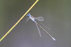 Blue-tailed damselfly 1 (Jo Rawson!) Tags: damselflies pottericcarr yorkshire yorkshirewildlifetrust nature pottericcarrnaturereserve