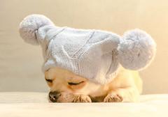 Paquino dreaming (StoryofLove Chihuahuas) Tags: chihuahua cachorro chihuahuas perro perrito puppi puppie puppy pet pets cute cahorrito dog doggie dogs dogie animal animals