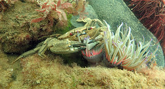 Crab, Anemone and Cat shark (heartypanther) Tags: seaanemone crab catshark