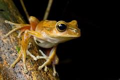 Hypsiboas bischoffi (Techuser) Tags: macro nature animal rainforest close nocturnal amphibian frog sapo mata treefrog atlantica perereca anura anfibio canon1855is sãomiguelarcanjo parquedaonçaparda
