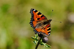 Small Tortoiseshell butterfly - Amsterdam (IvoMathieuGaston) Tags: red orange brown white black flower color colour macro green colors butterfly lunch wings nikon colours dof purple thistle d200 leafs aglaisurticae smalltortoiseshell naturegroup flickrgroup animalplanetgroup catchycolorsgroup flickrsbestgroup butterflycolorgroup naturewatchinggroup eperkegroup flickrstarsgroup wonderfulworldofanimalsgroup amazingmacrosgroup wonderfulworldofmacrogroup natureisallgroup naturegreenstargroup butterfliesgroup worldofanimalsgroup nikonflickrawardgroup onlyanimalsgroup naturepicsgroup colourartawardsgroup macrosdenaturalezagroup beautifulshotgroup macroworldgroup butterflybeautygroup dutchnaturegroup naturephotographygroup butterflygallerygroup universeofnaturegroup naturestylegroup capturingthebutterflygroup