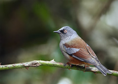 Maroon-backed Accentor (Rajiv Lather) Tags: camera india mountains nature birds fauna canon photography photo bhutan image wildlife indian ngc birding pic aves birdwatching himalayas birder avifauna birdwatchers passeriformes alpineforest accentors passeridae smoothbokeh hillforest himalayanbirds rajivlather highqualityanimals maroonbackedaccentor prunellaimmaculata