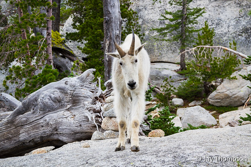 "Enchantments mountain goat • <a style=""font-size:0.8em;"" href=""http://www.flickr.com/photos/27893238@N07/7766929892/"" target=""_blank"">View on Flickr</a>"