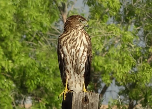 """Cooper's hawk • <a style=""""font-size:0.8em;"""" href=""""http://www.flickr.com/photos/10528393@N00/7774905988/"""" target=""""_blank"""">View on Flickr</a>"""