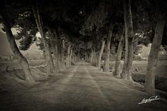 Camino San Julian (Enrique Jungle) Tags: bw blancoynegro blackwhite nikon camino paisaje bn pino lorca ltytr2 ltytr1 d3100