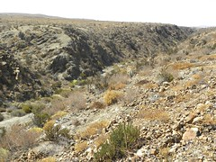 DSCN9565 (Robby's Sukkulentenseite) Tags: chile cactus cacti atacama humilis habitat reise schlucht kaktus kakteen standort copiapoa megarhiza echinata pajonal vortrag1 ka4329s rb2129
