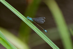Damselfly (picture!dude) Tags: blue up closeup close dragonfly damselfly tailed nahaufnahme blaue kleinlibelle wasserjungfer federlibelle seejungfer