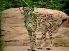 Cheetah (Steve.T.) Tags: beauty cat pose feline fuji grace spots bigcat cheetah poise colchesterzoo hs10 ommot