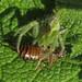 La araña verde peludina * Heriaeus