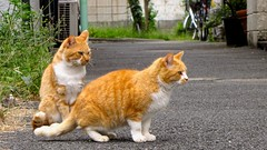 Tokyo's twins (wanderer_photographer) Tags: street red animal japan cat tokyo chat twin abandon neko japon roux abandonned jumeau maow rouquin canonsx10is scenedevie