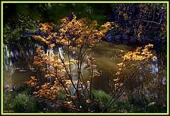 Chosen by the Sun (Irina Kiseleva) Tags: shadow orange sun plant black reflection tree green fall nature water colors yellow brooklyn garden
