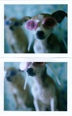 swim goggle hazel (EllenJo) Tags: dog pet chihuahua silly goofy polaroid diptych goggles hazel floyd 2012 landcamera closeuplens polaroidlandcamera chihuahuamix swimminggoggles august26 chiweenie fujifp100c fujiinstantfilm ellenjo ellenjoroberts polaroidpathfinder convertedpathfinder closeuplensplus2 bornin2011