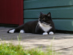 Tussi is out... (vanstaffs) Tags: cute cat kitten kitty tuxedocat tux tussi tuzz myprettygirl morebrownthanblack tuxedogirl myprettytuxedogirl