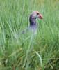 Purple Swamphen (Wild Chroma) Tags: birds srilanka porphyrioporphyrio swamphen porphyrio nonpasserines muthurajawela
