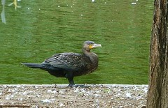 cormorant (helenoftheways) Tags: uk london birds cormorant southwarkpark hookedbeak
