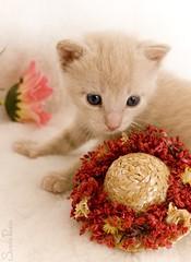 20080805_7640b (Fantasyfan.) Tags: pet baby cute hat animal topv111 furry kitten fluffy tiny toffee fantasyfanin elfaba highqualityanimals