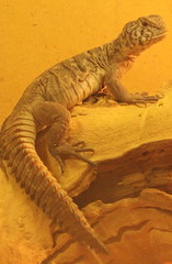 Orange benti uromastyx female (orlando c) Tags: female lizard uromastyx benti