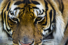 The eyes of the tiger (FinchFabio) Tags: animal animals zoo eyes pentax tiger occhi felini tigre animali