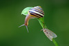 Pleased to meet you! (Vie Lipowski) Tags: nature bug insect moth snail hosta detritivore
