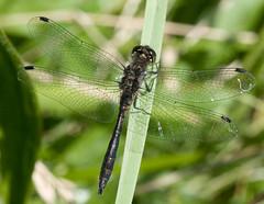Black Darter (Nige's Place) Tags: uk nature europe dragonflies wildlife insects damselflies odonata darters blackdarter