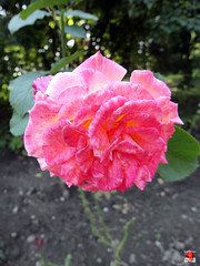 Roses - Hybrid tea rose 'Touch of Class' - Rosaceae SC20120826 314 (fotoproze) Tags: roses canada rose quebec montreal rosen gl rosas rozen 2012 roser    rosor mawar jardinbotaniquedemontral rsir re re  montrealbotanicalgardens trandafiri arrosak ruusut hoahng       rue    rzsk queenrose vrtnice ris  rhosynnau