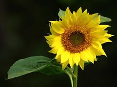 Sunflower Volunteer (Jemsabell) Tags: cheery bright sunflower volunteer waving flowerthequietbeauty
