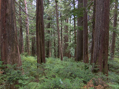 Dense forest (Urban Disturbance) Tags: usa washington hiking pacificnorthwest mountainloop ashlandlakes