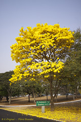Serie com o Ipe-amarelo em Brasilia, Brasil - Series with the Trumpet tree, Golden Trumpet Tree, Pau D'arco or Tabebuia in Brasilia, Brazil - 13-09-2012 - IMG_4695_2 (Flvio Cruvinel Brando) Tags: flowers trees brazil plants naturaleza plant flores flower color tree planta nature yellow braslia brasil cores plantas natureza flor amarelo ip series rvore cor srie rvores amarela colorida coloridas tabebuia trumpettree ipamarelo sries goldentrumpettree arbl paudarco tabebuiachrysantha flviobrando