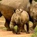 Pelo formato largo da boca, eh rinoceronte branco