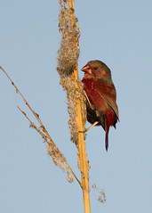 Crimson Finch (Eric Gofreed) Tags: australia finch queensland kewarrabeach crimsonfinch cattanawetlands