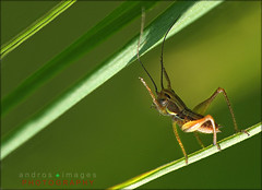 Un Saltamontes de fbula // El equilibrista // A grasshopper fable and tightrope (ANDROS images) Tags: pictures light naturaleza color luz interesting photos places images photographs fotos lugares passion lightreflection diferente andros interesante fotografas miradas pasin tonos throughthelens colortones viviendo loveofnature living carefortheearth theworldinpictures fotoandros androsphoto androsphoto fotoandros sitiosespeciales franciscodomnguez naturalezaviva amoralanaturaleza imgenesdenuestromundo slotenemosunatierra planetatierra porunmundolimpio amarlatierra cuidemoslatierra portierrasespaolas nuestromundo unahermosatierra reflejosdeluz pasinporlafotografa atravsdelobjetivo elmundoenimgenes photoandrosplaces placesspecialsites differentnaturelivingnature imagesofourworld weonlyhaveoneearthplanetearth foracleanworldlovetheearth onspanishterritoryourworld abeautifulearth passionforphotographylooks