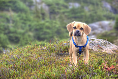 Bridgett in Alaska (h_roach) Tags: dog horizontal alaska puppy outdoors northwest hyder puggle alpinemeadow