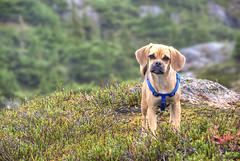 Bridgett in Alaska (h_roach) Tags: dog horizontal alaska puppy outdoors northwest hyder puggle alpinemeadow