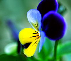 DSC_0028 (bbvn_1) Tags: blue flower yellow 50mm nikon 14 melbourne pensee d90
