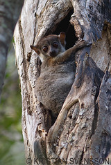 Milne-Edwards's Sportive Lemur (Lepilemur edwardsi) (macronyx) Tags: nature animal animals mammal wildlife lemur mammals madagascar lepilemur dggdjur sportivelemur lepilemuredwardsi milneedwardsssportivelemur