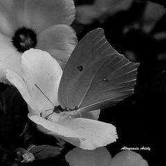 A Blanco y Negro/At Black and White (Altagracia Aristy Sánchez) Tags: blackandwhite blancoynegro butterfly américa dominicanrepublic papillon borboleta tropic caribbean mariposa farfalla antilles laromana caribe repúblicadominicana caraïbe trópico antillas quisqueya altagraciaaristy fujifilmfinepixhs10 fujihs10 fujifinepixhs10