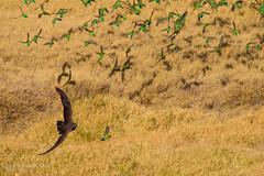 IMG_0636.jpg (Paul Williams www.IronAmmonitePhotography.com) Tags: bird budgerigar summer murmuration dryseason melopsittacusundulatus australia