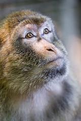 Macaque looking up (Tambako the Jaguar) Tags: looking up potrait face close macaque barbary primate ape monkey jonskleinefarm kallnach zoo bern switzerland nikon d4