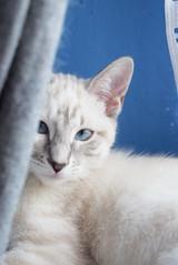 My bae. (LaDeba) Tags: cat cats animal animals animale gatto interni nature pet pets domestico animali natura eyes eye blue love colours