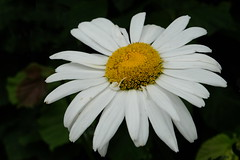 He loves me... (Goruna) Tags: flower whiteflower margeriten leucanthemum marguerites goruna petals