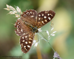 Speckled Wood (ABPhotosUK) Tags: animals butterflies canon dartmoor devon ef100400mmisii ef25mmextensiontube eos7dmarkii invertebrates lepidoptera macro nocrop nymphalidae parargeaegeria speckledwood wildlife