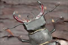 Lucanus-cervus_4 (amadej2008) Tags: taxonomy:binomial=lucanuscervus stagbeetle hirschkfer roga kleman lucanuscervus stag beetle rogai klemani lucanus cervus