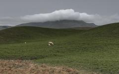 sheep (Raikyn) Tags: hawkesbay nz newzealand landscape farm rural winter
