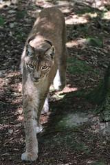 Luchs (c4harry) Tags: chattengau wald kosystem edersee kellerwald wildtierpark luchs